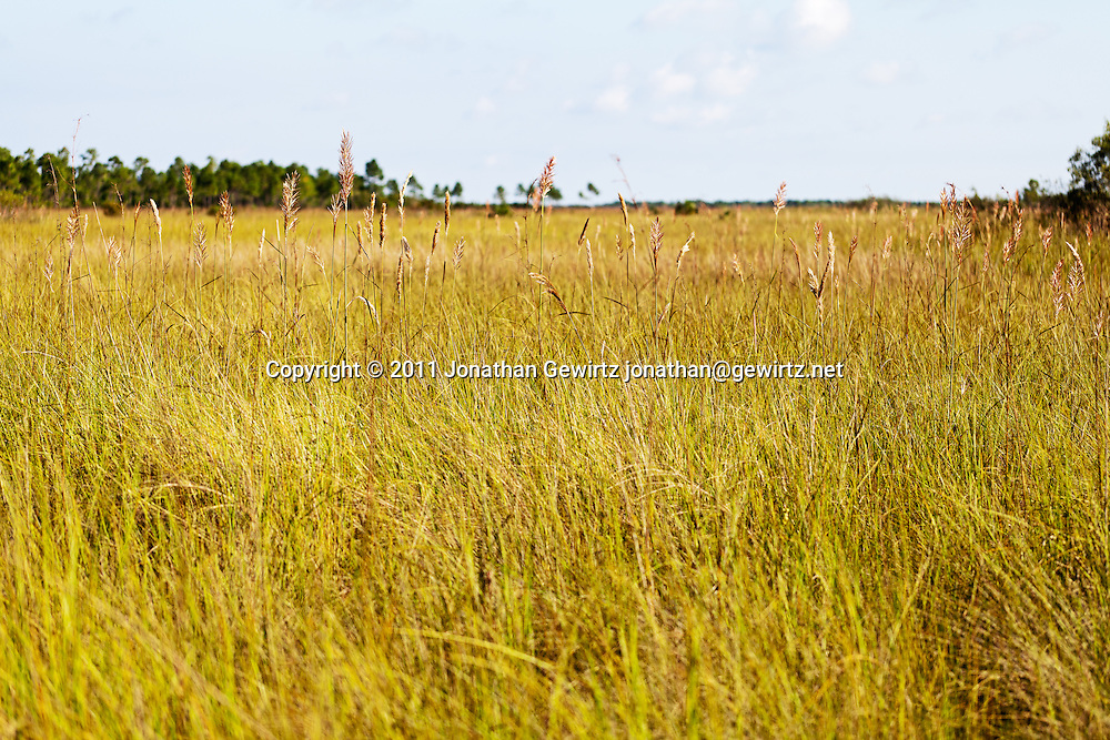 """Sawgrass savanna in the Florida Everglades """"River of Grass"""". WATERMARKS WILL NOT APPEAR ON PRINTS OR LICENSED IMAGES."""