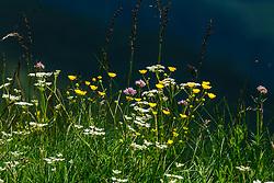 Scherpe boterbloem, Ranunculus acris