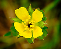 Yellow wildflower. Image taken with a Fuji X-T3 camera and 80 mm f/2.8 macro lens (ISO 320, 80 mm, f/2.8, 1/750 sec).