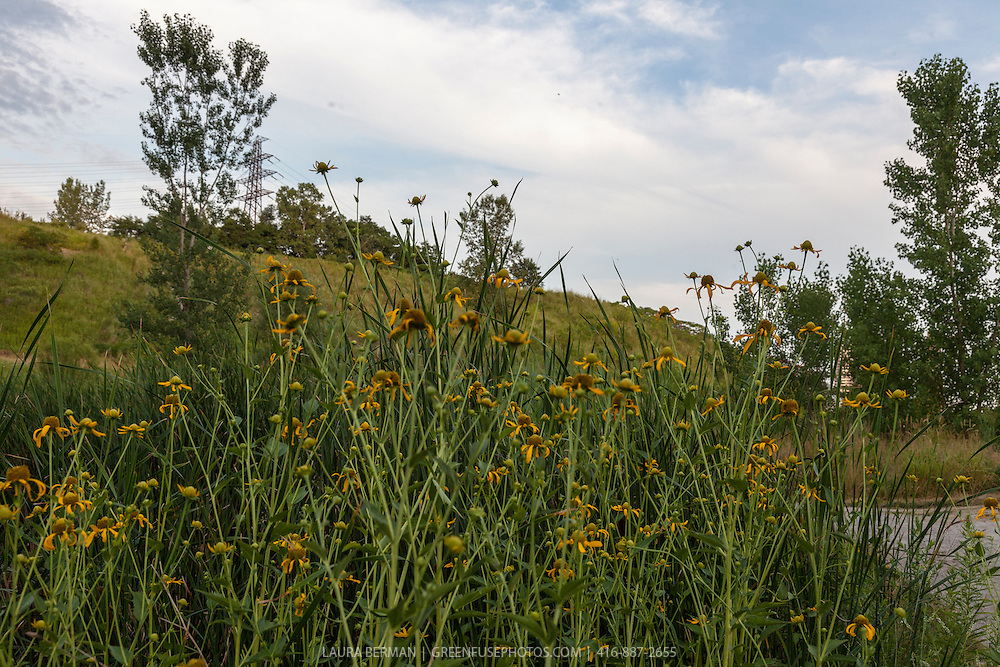 The yellow, daisy-like flower of the Cup plant (Silphium perfoliatum) a native North American perennial.