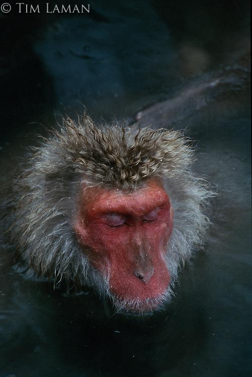 A Japanese macaque (Macaca fuscata) soaking in a hot spring.