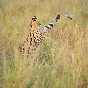 Serval cat (Felis serval) in Masai Mara National Reserve, Kenya,. Africa.