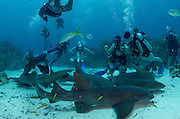 Nurse Shark (Ginglymostoma cirratum) & Yellowtail Snapper (Ocyurus chrysurus)<br /> Hol Chan Marine Reserve<br /> near Ambergris Caye and Caye Caulker<br /> Belize Barrier Reef, second largest barrier reef in the world<br /> Belize<br /> Central America