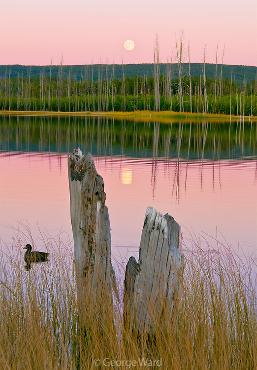 Full Moon and American Coot on Lake, Yellowstone National Park, Wyoming