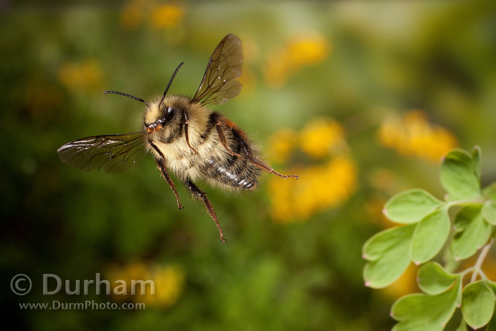 Bombus huntii - a native bumble bee. Photographed in Western Oregon.