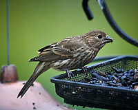 Immature/Female House Finch Image taken with a Nikon D5 camera and 600 mm f4 VR lens