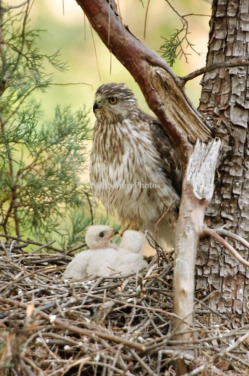 Female Cooper's Hawk (Accipiter cooperii) feeding chicks in nest in the Chiricahua Mountains, Arizona