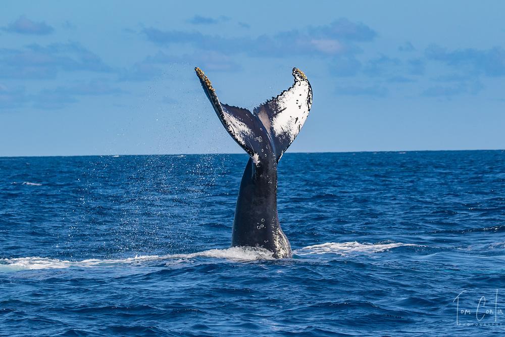 humpback whale ~ Megaptera novaeangliae ~ adult lob tailing ~ Silver Bank, Dominican Republic ~ www.aquaticadventures.com