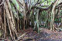 66.4 Gajumaru Banyan Garden 志戸子ガジュマル園  Yakushima is best known for its ancient cedar trees and lush forests where they grow.  However, this is not all the island has to offer with other forests to explore such as the Gajumaru Banyan Garden.  In this stretch of banyan it is difficult to tell which are the original trees and which are the supporting roots. The gajumaru banyan is related to the tropical fig tree and is an indigenous plant whose aerial roots sprout in all directions from the trunk. Some of these gigantic figs are more than 500 years old.