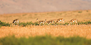 A herd of Mountain Gazelle (Gazella gazella). The Mountain gazella is the most common gazelle in Israel, residing largely in three areas. Its population decreased greatly throughout its natural range in the first part of the 20th century due to poaching and successful breeding of Iranian wolves, but increased thereafter in Israel due to conservation efforts. Photographed in Israel in July