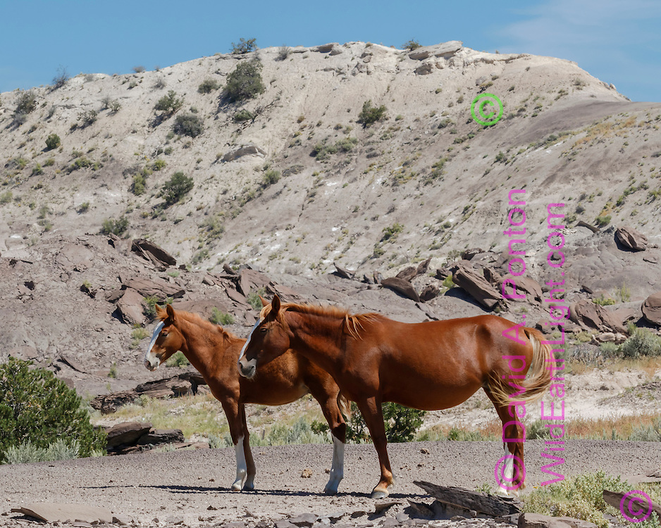 Mare  resting with foal in badlands in north-western New Mexico, © David A. Ponton