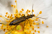 Close up of a female large flower longhorn beetle (Oedemera nobilis) feeding on a white cistus flower in a coastal habitat at Rovinj, Croatia
