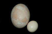 Re-constructed Elephant Bird Egg, Aepyornis maximus, compared in size against Ostrich Egg.  Fort Dauphin, Madagascar,  a giant, flightless ratite native to Madagascar, has been extinct since at least the 17th century. Aepyornis was one of the world's larg