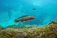Bowfin<br /> <br /> Isaac Szabo/Engbretson Underwater Photography