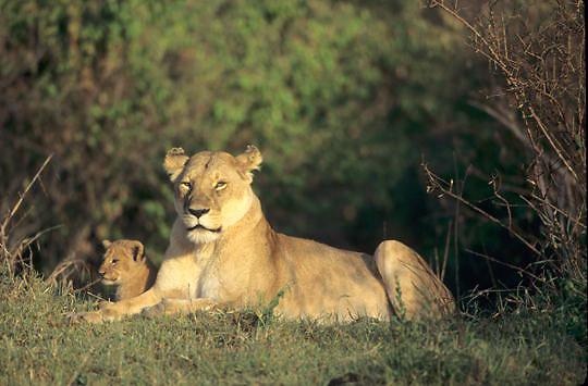 Lion, (Panthera leo) Mother and cub resting. Masai Mara Game Reserve. Kenya. Africa.