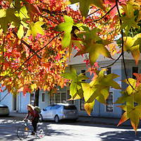 Afternoon sunlight streams through a colorful canopy of leaves at the corner of Chestnut Street and Walnut Avenue in Santa Cruz.<br /> Photo by Shmuel Thaler <br /> shmuel_thaler@yahoo.com www.shmuelthaler.com