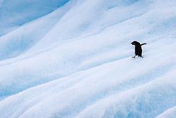 Adelie Penguin (Pygoscelis adelia) on ice in Antarctica