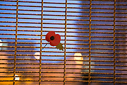 A Remembrance day poppy attached to a fence, HMP/YOI Portland, a resettlement prison with a capacity for 530 prisoners. Dorset, United Kingdom.