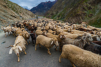 Sheep and goats being herded, Leh-Manali Highway, Himachal Pradesh, India.