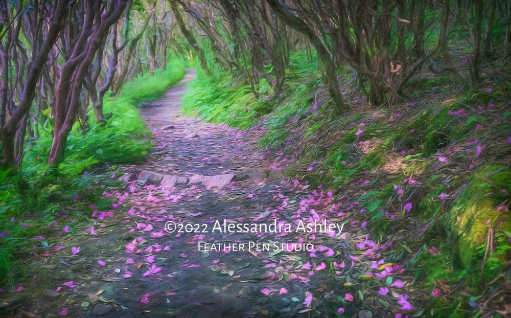 Catawba rhododendron petals line the wooded trail to Craggy Gardens in late spring. Craggy Gardens rhododendron bald offers 360 degree views of mountain ridges and peaks as far as the eye can see.  Blue Ridge Parkway, Asheville, North Carolina.