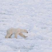 Polar Bear walks across broken ice near Cape Churchill, Hudson Bay, Manitoba, Canada.