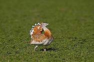Great Bustard - Otis tarda, male displaying