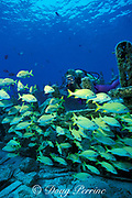 diver and grunts on Del Mar wreck, <br /> Cozumel, Mexico ( Caribbean Sea )<br /> MR 110
