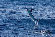 free jumping striped marlin, Kajikia audax (formerly Tetrapturus audax ), off Baja California, Mexico ( Eastern Pacific Ocean )