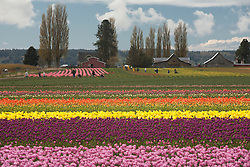 North America, United States, Washington, Mt. Vernon, tulip fields in bloom at annual Skagit Valley Tulip Festival, held in April