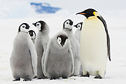 A sad looking Emperor Penguin (Aptenodytes forsteri) chick in a small creche stands next to an adult, Snow Hill Island, Weddell Sea, Antarctica.