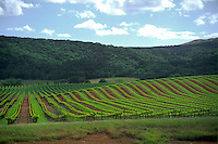 New growth in large vinyard in Sonoma County California