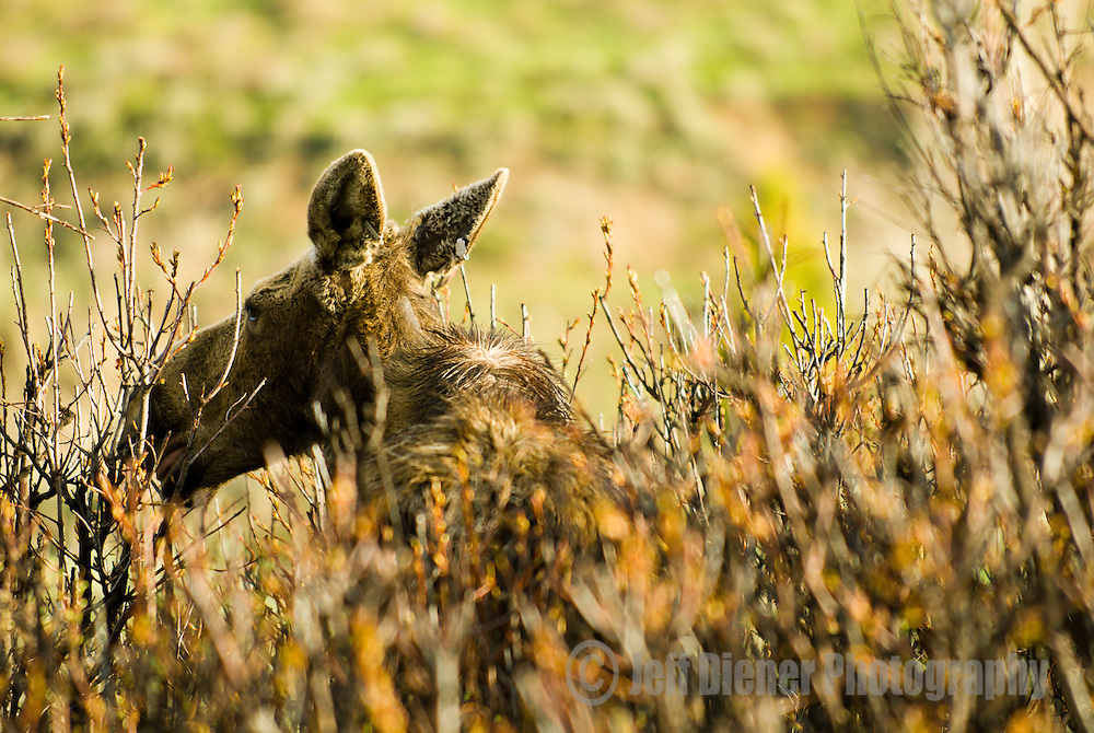 A moose forages for food in Jackson Hole, Wyoming.