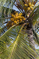 The coconut palm or cocos nucifera is a tree of the palm family and  one of the most important crops in the tropics. The leaning trunk of the tree rises to a height of up to 25 meters or 80 feet in height. It is topped by a large palm fronds that  rustle in the breeze.