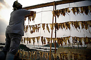 AOMORI KEN, JAPAN - Woman who dry some squids just after fishing - August 2005 ***[FR]***  Femme faisant sécher des calamars juste apres la peche.