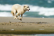 white Dog plays on a beach