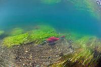 Sockeye Salmon on their spawning beds...Pegati Lake, Headwaters of the Kanektok River..shot in Alaska, USA..