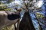 Walker hounds tree a black bear during an Idaho bear spring hunt.