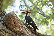 An adult male southern pileated woodpecker hunts for insects on a live oak tree in Mount Pleasant, South Carolina. The crow sized bird is the second largest woodpecker in North America.