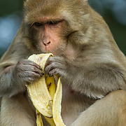 2016 10 14 Rishikesh Uttarakhand Indien<br /> En apa som äter en banan<br /> <br /> ----<br /> FOTO : JOACHIM NYWALL KOD 0708840825_1<br /> COPYRIGHT JOACHIM NYWALL<br /> <br /> ***BETALBILD***<br /> Redovisas till <br /> NYWALL MEDIA AB<br /> Strandgatan 30<br /> 461 31 Trollhättan<br /> Prislista enl BLF , om inget annat avtalas.