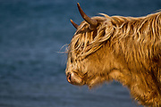 A Highland Cow on the Isle of Islay