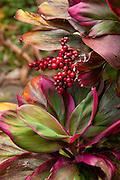 Ti plant, Limahuli Garden and Preserve, Haena, Kauai, Hawaii