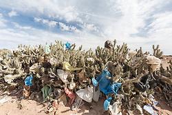Plastic bags stuck in cactus, Morocco.