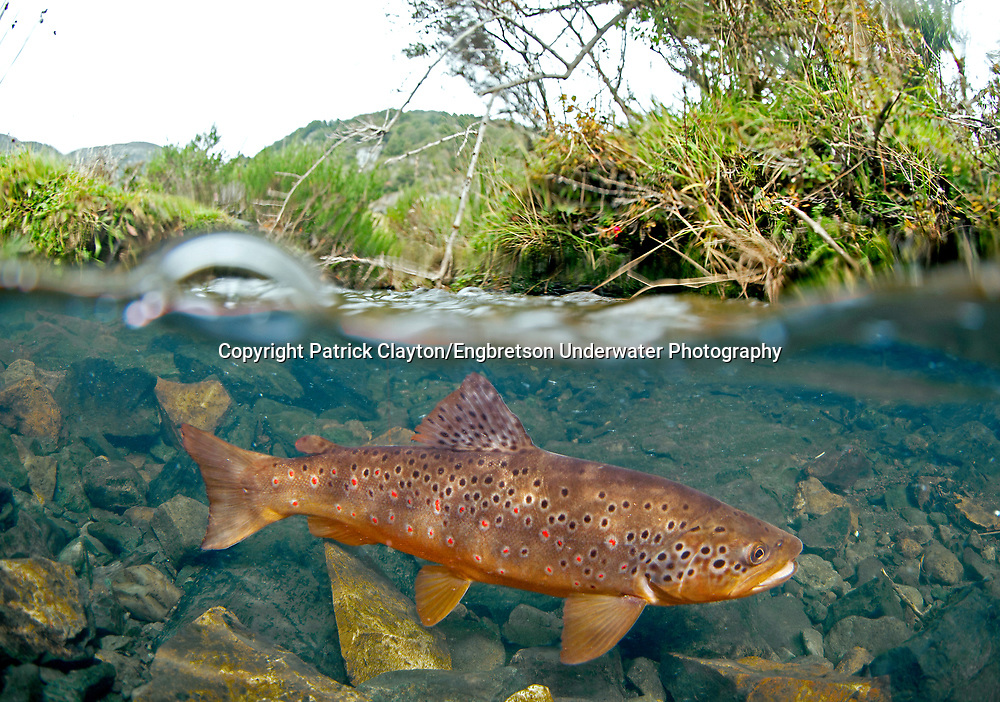 Brown Trout<br />