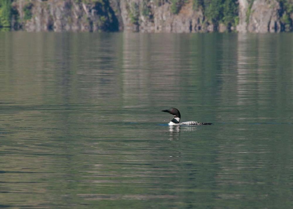 Common Loon (Gavia immer) on Ross Lake, Ross Lake National Recreation Area, North Cascades National Park, Washington, US