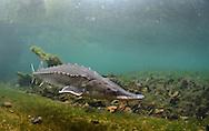 Atlantic Sturgeon<br /> <br /> Paul Vecsei/Engbretson Underwater Photography