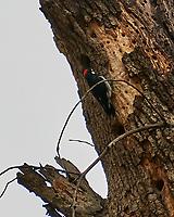 Acorn Woodpecker (Melanerpes formicivorus). Yosemite National Park, California. Image taken with a Nikon D300 camera and 80-400 mm VR lens.