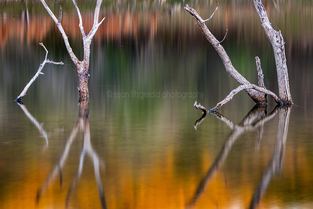 Sunset reflections on dead trees in spring-fed pond, Hill Country between Blanco and Fredericksburg, Texas, USA