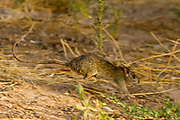 black rat (Rattus rattus) also known as ship rat, roof rat, or house rat is a common long-tailed rodent of the rat genus Rattus, Photographed in Israel, Hefer Valley