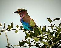 Lilac-breasted Roller Chobe River, Botswana. Image taken with a Nikon 1 V3 camera and  70-300 mm VR lens.