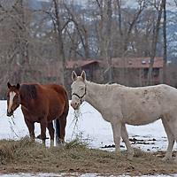 Horses graze on hay left in a snowy field near Bozeman, Montana